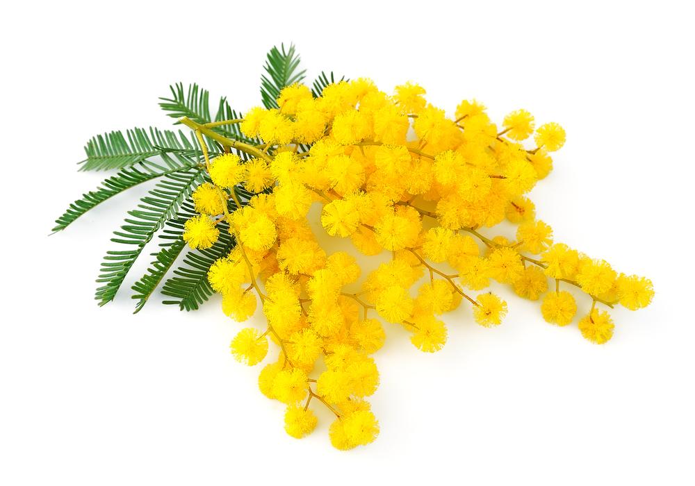 coltivare-mimosa.jpg